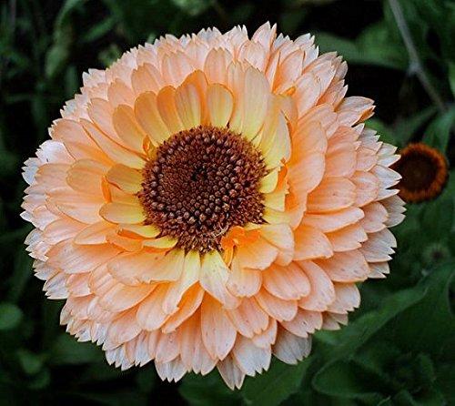 Frisch 2000 Samen - Calendula Rosa Überraschung Blumensamen