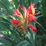 Crocosmia x crocosmiiflora 'Lucifer' montibretia Perennial Shrub Plant | 9cm