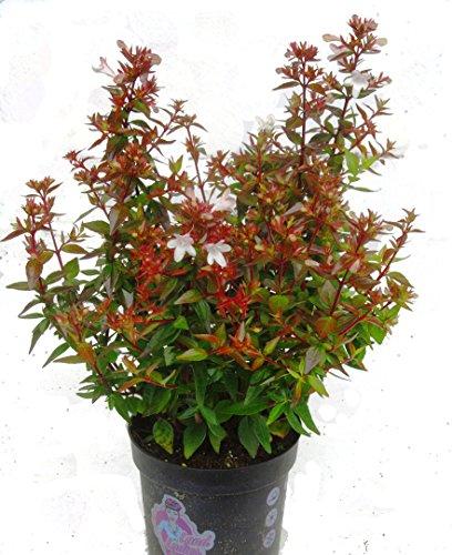 Abelia grandiflora \'Land Ladies`\' Abelie - winterharter, wintergrüner, blühender Strauch 11 cm Topf