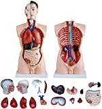 YYSDH 19 Piezas de Torso Humano Modelo anatómico En enseñanza de tamaño Natural de Aproximadamente 85 cm, Aprender a Hombre Torso Modelo