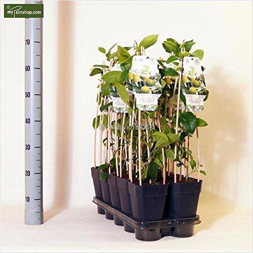 Limetten- Limonenbaum - Citrus aurantifolia Lime Verde - verschiedene Größen (60-80cm - Topf 2 Ltr.)