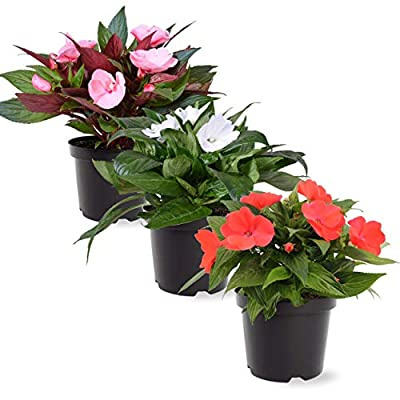 The Three Company Live Flowering 1 Quart New Guinea Impatiens (3 Plants Per Pack), Spring Garden Essential, Assorted by The Three Company