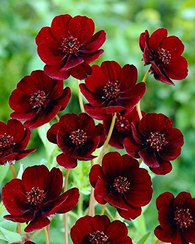 200pcs / bag Rare Chocolate Cosmos Fleur Graines-fleurs tout l'été long et a Rich Scent Like Chocolate Diy jardin Fleur