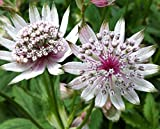 Astrantia Major 'Star of Beauty' 15cm Pot Size
