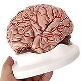 人間の解剖学的モデルボディスケルトン人間の脳解剖学的モデル-等身大の脳モデル-分解された8つの部分の解剖学的人間の脳と動脈モデル-医学教育訓練支援用