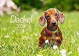 Edition Seidel Dackel Premium Kalender 2021 DIN A3 Wandkalender Hundekalender Hunde