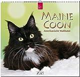 Maine Coon - Amerikanische Waldkatze: Orginal Stürtz-Kalender 2021 - Mittelformat-Kalender 33 x 31 cm