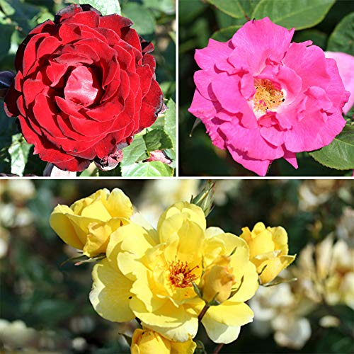 Climbing Rose Bush Collection in 3 Varieties bare root