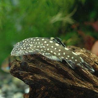 (熱帯魚)ボルネオ・プレコ(3匹) 本州・四国限定[生体]
