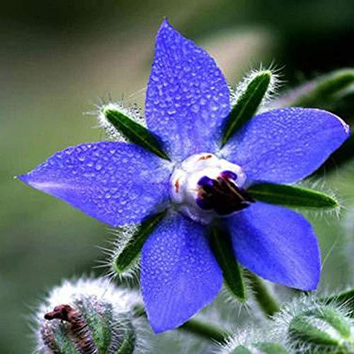 Borretschsamen 30+ Herb Amazing Starflower (Borago officinalis) Blaue Blume Samen von höchster Qualität für den Hausgarten im Freien