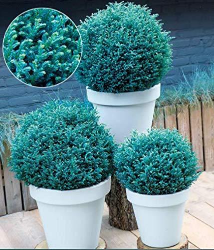 Keland Garten - Selten Winterharter Bambus