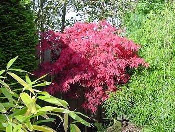 Dark Blue Maple Tree Seeds hfjeigbeujfg Garden Seeds,30Pcs Japanese Maple Tree Seeds Acer Palmatum Plant Home Garden Bonsai Decor