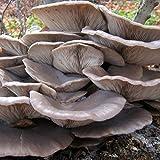 Fungo Pleurotus ostreatus (Fungo Ostrica) - CHIODI DI MICELIO (20 pz)