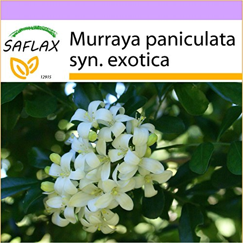 SAFLAX - Naranjo jazmín - 12 semillas - Murraya paniculata syn. exotica