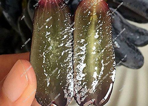 Pépins de raisin Gold Finger vigne vivaces herbes plantes succulentes, Juicy Fruit non-OGM légumes semences fournitures de jardinage 50 Pcs 15