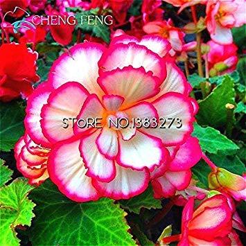 VISTARIC 10 Pcs Canna Graines Belle semences de fleurs Mix Indica Lily Jardin des plantes Ampoules Fleurs extérieur Bonsai Flores pot. Accueil cadeau