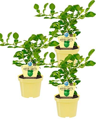 Citrus hystrix), herbes végétales biologiques issues de culture durable 3 Pflanzen, je im 12cm Topf
