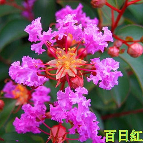 promworld vivaces graines Fleurs ornementales,Plantes de Jardin Décoration,Graines de Lagerstroemia-20pcs_D