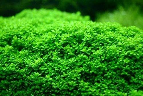 Live Aquarium Plants Hemianthus Callitrichoides Cuba Cup Dwarf Baby Tears FR02