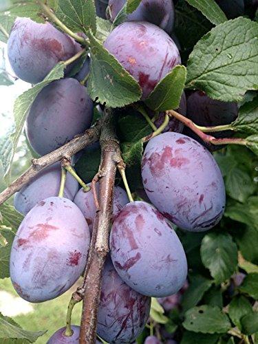 Hauszwetsche Pflaume Pflaumen Pflaumenbaum 120-150 cm im 7,5 L Topf Bauernpflaume