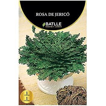 Bulbos - Rosa de Jerico - Batlle: Amazon.es: Jardín