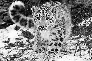 Yajia Art Snow Leopard - Print on Canvas 29 X 20inch: Unframed