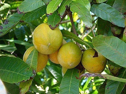 Canistel Pouteria campechina Pflanze 5-10cm Sapote Amarillo Eierfrucht Rarität