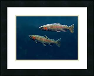 Framed Wall Art Print Rainbow Trout Pair Swimming Underwater by Tim Fitzharris 18.00 x 14.50