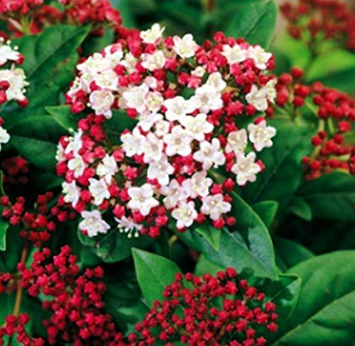 Tomasa Samenhaus- Immergrüner Winter Schneeball (Viburnum tinus) - immergrün, weiße Blüten, angenehmer Duft - Winter-Pflanzen