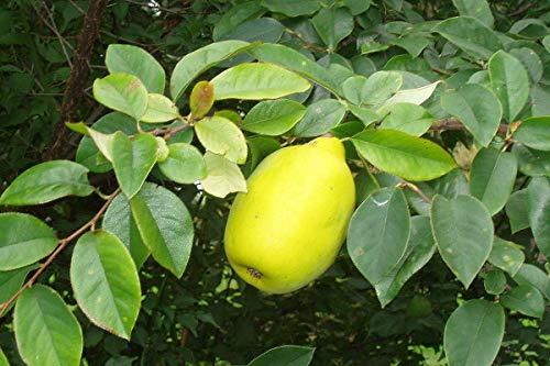Holz-Quitte Pseudocydonia sinensis Pflanze 55-60cm Chinesische Quitte Rarität