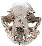 CFDZCP Calaveras Decorativas Modelo del cráneo de Halloween Decoración Animal de la Resina esquelética Apoyos Modelo Animal Skull Adornos Personalidad Sorpresas