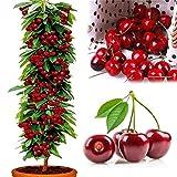 植えるための50個の有機甘いフルーツチェリーの種子、庭のバルコニー/パティオのための珍しいフルーツ多年生の庭の農場ヤード