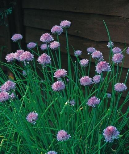 Just Seed???herbes???ciboulette Medium Feuilles???Allium Schoenoprasum???400?graines???Economy Lot