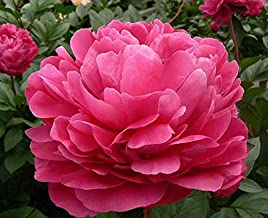 Red Sarah Bernhardt Peony - Double Rose, Midseason