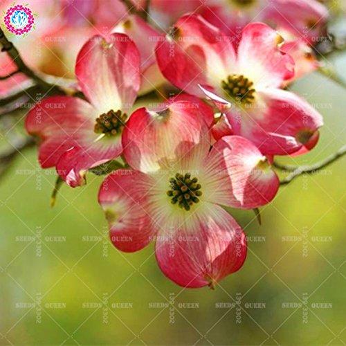 Variété rare! 20 pcs/sac de graines Real kousa cornouiller belles graines de plantes bonsaï maison vivaces en pot et jardin 95% Survivre 1