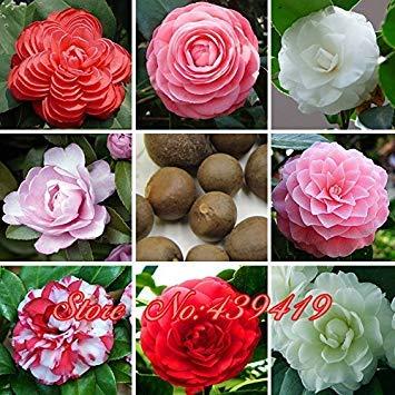 100 Pcs 24 Couleurs Camélia Graines de Fleurs Graines Jardin Graines Plantes en Pot Graines Camellia Japonais