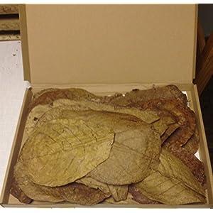 garnelenshop24de-30-Stck-Seemandelbaumbltter-15-20cm-BLITZVERSAND-im-Karton-Seemandellaub-Catappa-Leaves--Original-Markenware-von-SMSF-Indonesia
