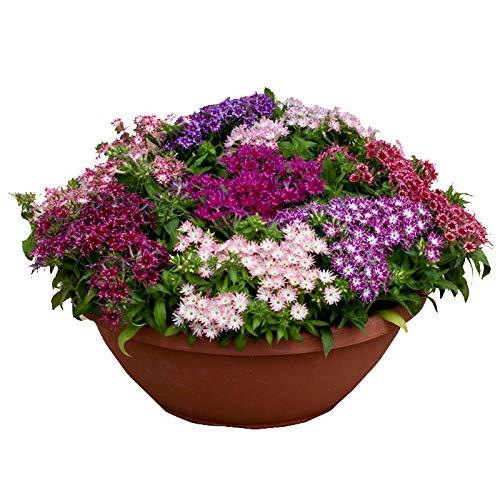 XINDUO Fleurs Sauvages en mélange Graines,Phlox Cinq Fleurs de Prunier rustiques naines espèces de fleurs-500g,Graines De Printemps Vivaces