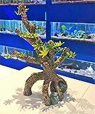 Mezzaluna Gifts Baumwurzel TR20 Aquarium-Dekoration mit natürlicher Rinde, kleine Wurzel