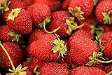 Erdbeere -Four Seasons- Packung- 20 Samen (Trägt vom Frühjahr bis zum Herbst)