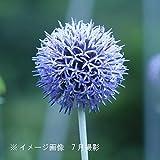 【紫桜館山の花屋】宿根草:エキノプス ルリタマアザミ 素掘り苗5株