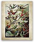 XMYC Drucke für Wände Vintage Kolibri Ernst Haeckel