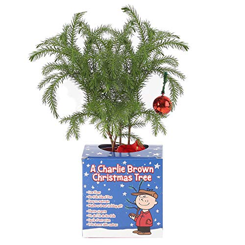 Costa Farms Live Charlie Brown Christmas Tree, 10 to 12-Inches Tall, Ships Fresh From Our Farm, Great as Gift or Christmas Decoration
