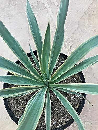 FERRY Sementi biologiche Solo Non Piante: Yucca Gloriosa variegata, Variegato Mound Lily', Attualmente in Un Contenitore 9' in TRAGHETTO