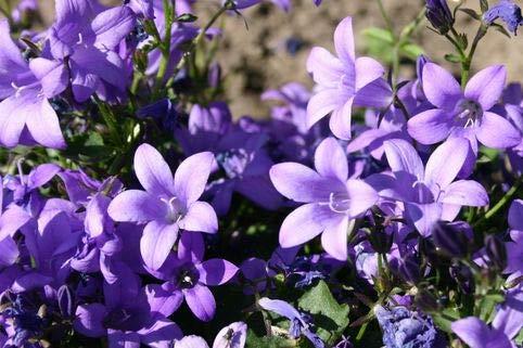 Keland Garten - Raritäten Dalmatiner Polster-Glockenblume als Bodendecker, Blumensamen winterhart mehrjährig für Steingärten, Trockenmauern sowie Plattenfugen