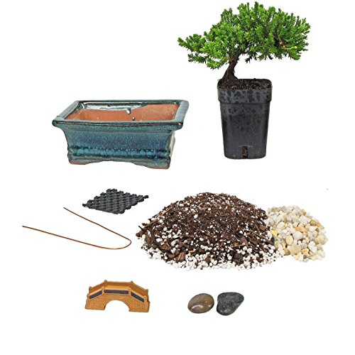 Bonsai Tree Starter Kit, Complete Do-It-Yourself Kit with 2 Year Old Petite Japanese Juniper from Jmbamboo