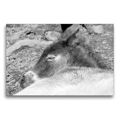 CALVENDO Premium Textil-Leinwand 75 x 50 cm Quer-Format Schlafendes Exmoor Fohlen, Leinwanddruck von Meike Bölts