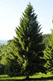 Tree Seeds - 30 Seeds of Norway Spruce, Picea Abies, (Fast Evergreen)