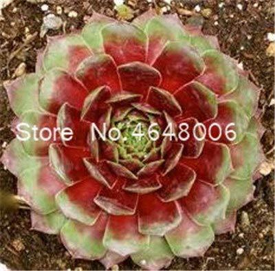 Bloom Green Co. 200 Pcs Mixed Sempervivum Bonsai, Fleurs exotiques en pot allemand Succulentes Radiation charnue plante de couleur pourpre joubarbe des toits: 20