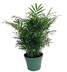 Best Air Cleaning Houseplants That Are Impossible To Kill | Bamboo Palm
